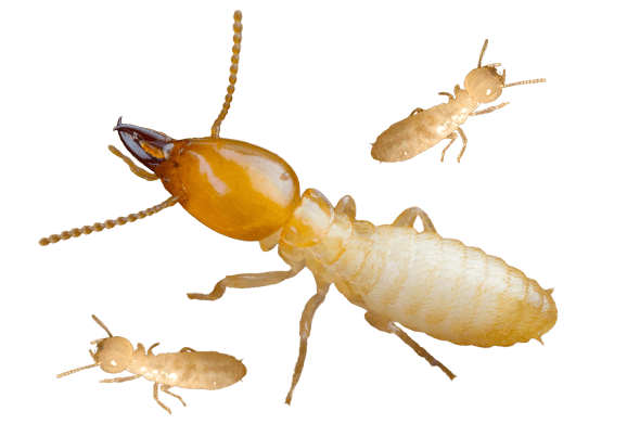 Termite problems on the NSW Central Coast? Pest Affects can help.